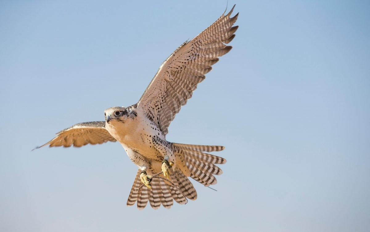 Dubai, UAE: A falconer in traditional