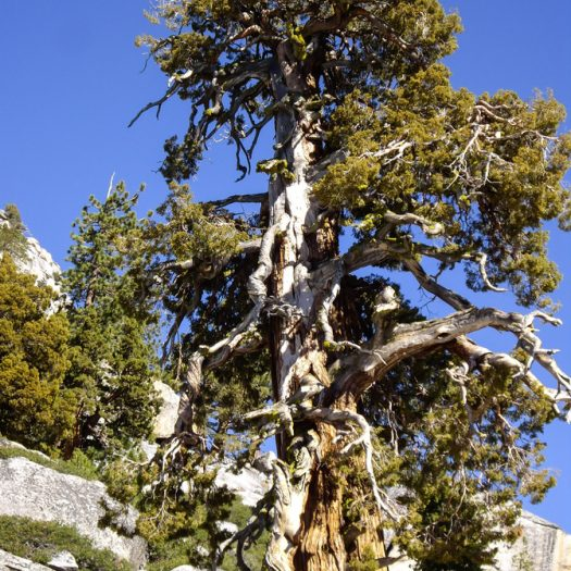 Resilient-Bristlecone-Tree-525x525