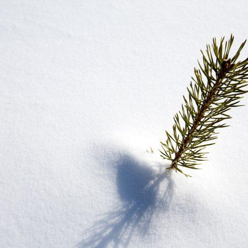 photodune-255662-survival-spruce-tree-m-500x500