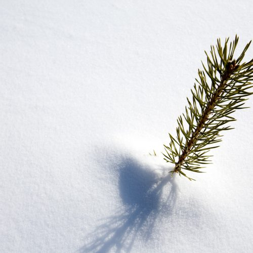 photodune-255662-survival-spruce-tree-m-500x500