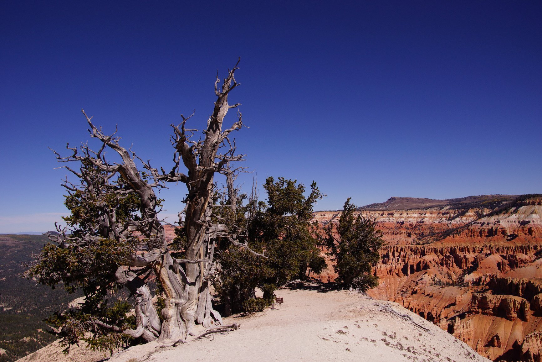 Bristlecone Real Estate (Bristlecone Tree)